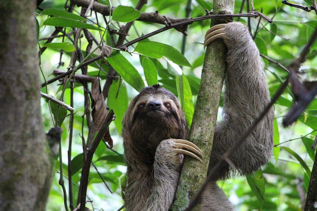 sloth, three finger sloth, jungle, our, planet