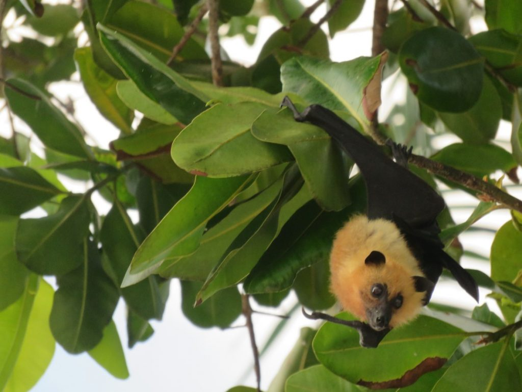Fruit bat, Seychelles