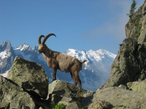 Ibex at Mont Blanc, Italy
