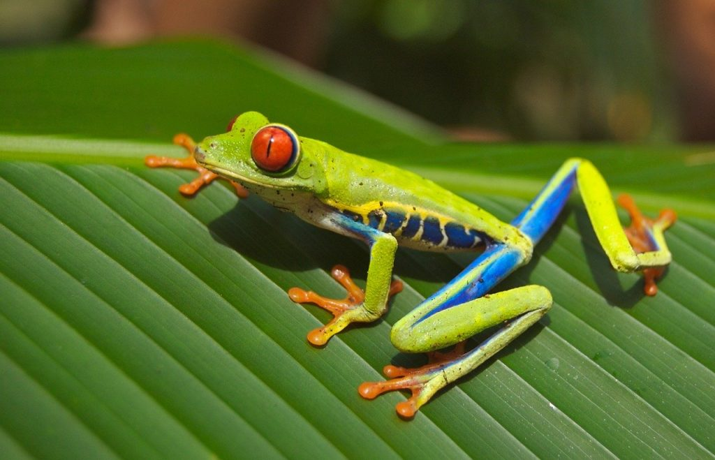 tree frog, frog, red eyed