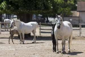 Lipica Horse Stud